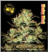 Moby Dick Greenhouse best hybrid indica sativa marijuana seeds